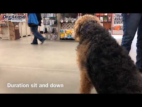 """9 Month Old Airedale Terrier """"Becks"""" Before/After 