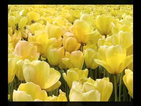 MFÖ - Sarı Laleler