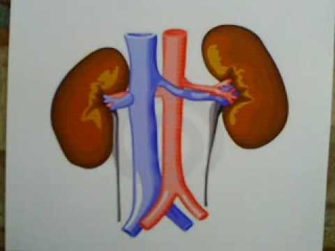 Kidney function youtube kidney function ccuart Choice Image