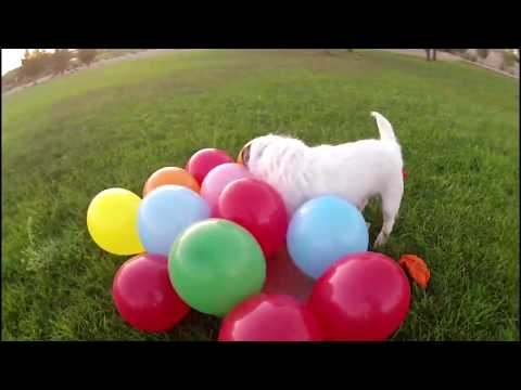 Balloon Popping Jack Russell 🎈 ~ Happy Birthday Jesse!