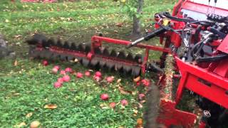 Ramassage de pomme au sol