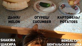 Бенгальская кошка ест картошку, огурец и дыню. Bengal cat eating potatoes, cucumber and melon