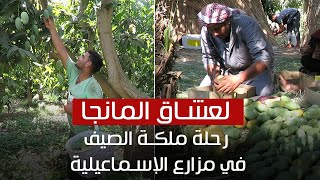 لعشاق المانجو.. رحلة لمزارع ملكة الصيف في الإسماعيلية