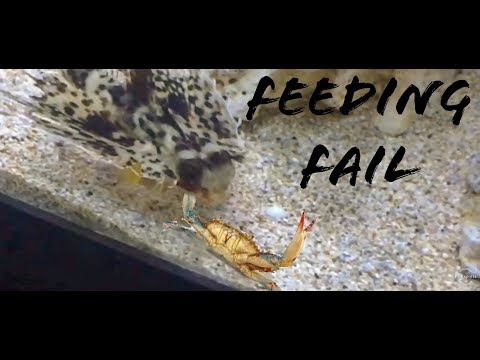 Bat Fish Feeding Fail