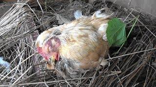 鶏と人間社会は似ている。 だからこそ身近な存在なのだ。 鶏は露骨だが...
