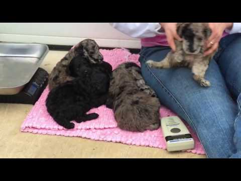 Candy's standard poodle puppies for sale  2-22-17