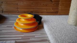 Норвежские лесные котята Xaviera, Xander, Xena On Fashion Peak, 1,5 месяца