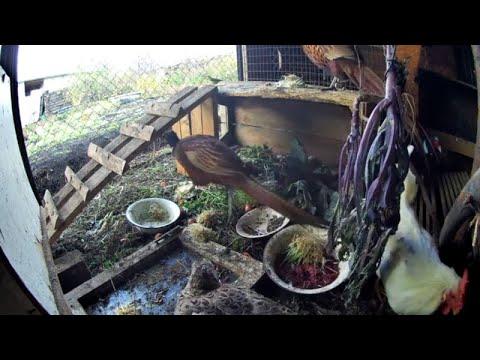Птицеводство в домашних условиях. Разведение фазанов. Жизнь в деревне. Моё подсобное хозяйство