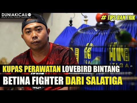 Burung lovebird single fighter