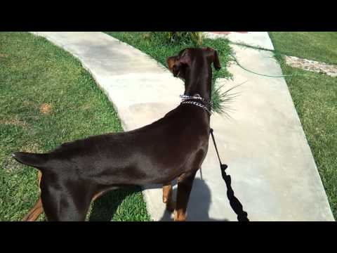 dobermans first growl/bark (protection)