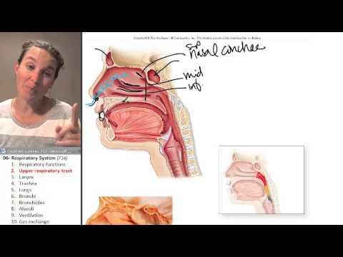 Respiratory system 2- Upper respiratory tract