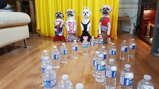 Bốn bé chó thông minh vượt chướng ngại vật/Four smart dogs overcome the obstacles.