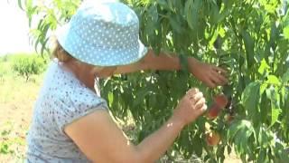 Урожай персиков остается в Крыму