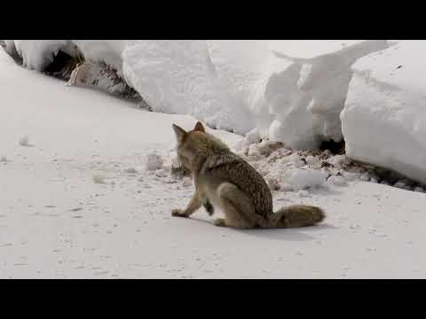 A wily Coyote scavenging along the river bank in Yellowstone