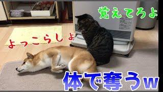やられたらやり返す!が、その方法が笑っちゃう!そんな柴犬ハナと猫クロを集めました!    Shiba And Cat.