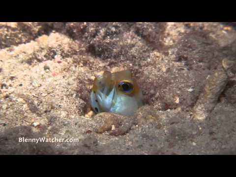 Yellowhead Jawfish Releasing Hatching Larvae  - By Anna DeLoach