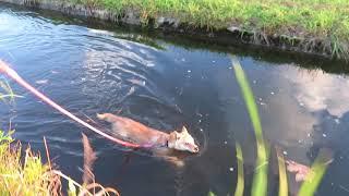 泳ぎが大好きな山陰柴犬モモです。