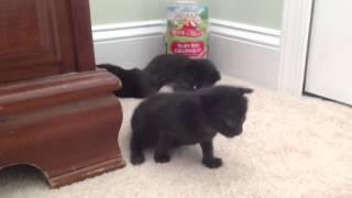 Котята начинают ходить