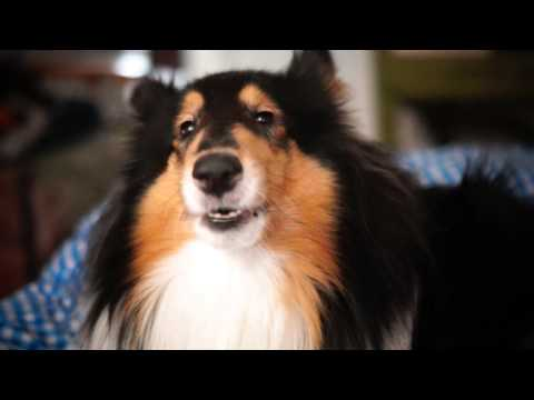 Rough Collie Barking And Speaking