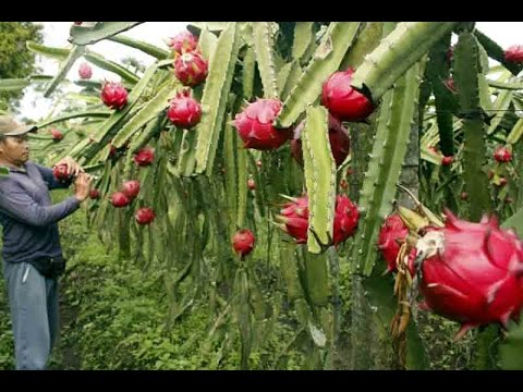 How to grow the Dragon Fruit (Pitaya) Cactus Pt1