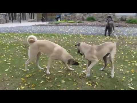 Anatolian Puppies 6 months old at Stonebridge Farm