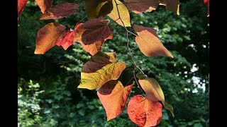 """Redbud Leaves,"" by Eric Robert Nolan (read by the author)"