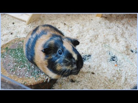 Wheek-ly Vlog 60: Guinea Pigs Explore Their Cage & My Mum's Guinea Pigs