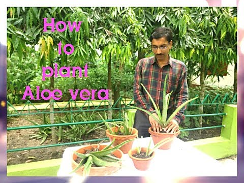How to grow, care, and Propagate Aloe vera plant