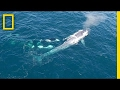 Watch: Killer Whales Charge Blue Whale (Rare Drone Footage)   National Geographic