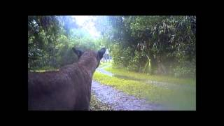 Florida Panthers in the Wild (Raw Video)