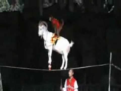 "Incredible performing ""goat & monkey' in Chinese Circus!?"