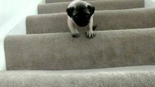 My 8week Old Pug Puppy Going Downstairs (so Dramatic)