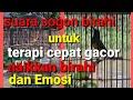 Terapi Suara Sogon Birahi Bikin Sogon Cepat Gacor  Mp3 - Mp4 Download