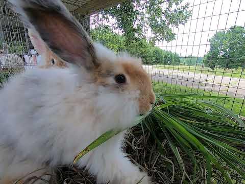 A bit of bunnies nibbling grass
