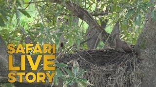 Hardy Hamerkops Build Nest