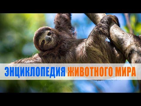 Ленивец | Энциклопедия животного мира