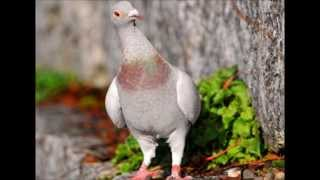 10 Most Beautiful Pigeon Birds  2013