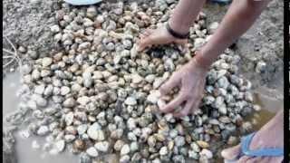 Tisrio (clam)