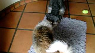 Chinese Crested Powder Puff And Schnauzer Homemade Treats Debacle