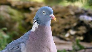 видео Дикий голубь