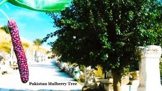 *Plant Pakistan, Black Mulberry Trees* +Giant Mulberry Plant SALE+