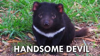Tasmanian Devils Have No Right Being This Cute