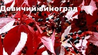 видео Вертикальное озеленение: девичий виноград