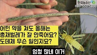 [한국농수산TV] 어떤 약을 쳐도 올해는 총채벌레가 잘…