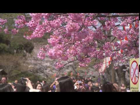 Футаж | Розовая сакура