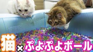 猫とぷよぷよボール風呂で遊んだら珍プレー連発したw