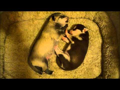 Alaskan Klee Kai pups sleeping