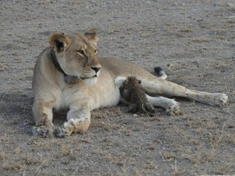 Lioness Adopts Leopard Cub, Is It A Sign? What Does It Mean?