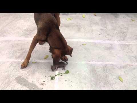 chó nghiệp vụ :  bắt chuột không thèm ăn