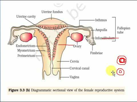 XII Bio Ch-3 Human Reproduction part-2 word to word explanation